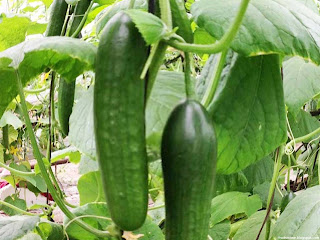 Cucumber fruit images wallpaper