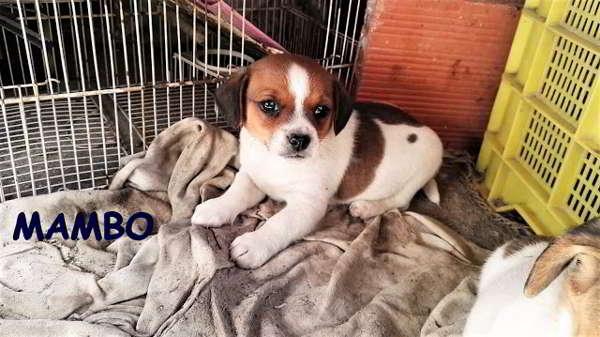 cachorro de tamaño miniatura pequeña
