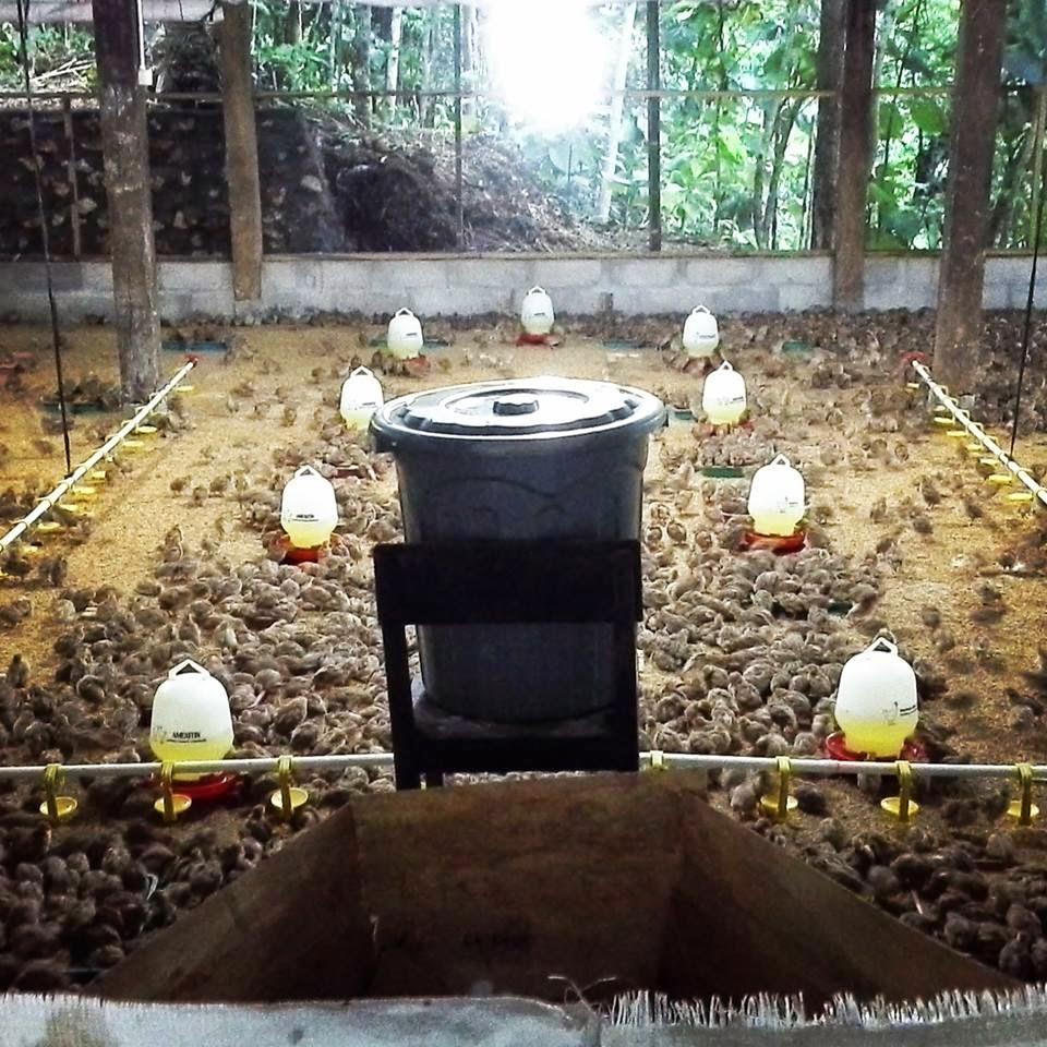 Mitra Usaha Ternak Puyuh - Tentang Kolam Kandang Ternak