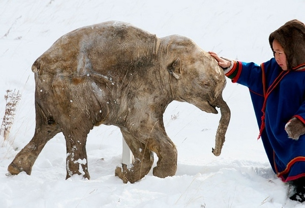 Humans and Climate contributed to extinctions of large Ice ... |Extinct Animals Found Frozen