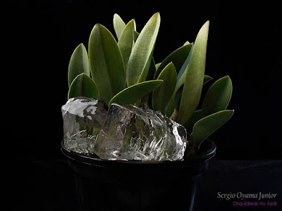 Regar orquídeas com gelo