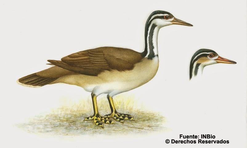 avesol americano Heliornis fulica