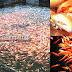 Panduan Lengkap Melakukan Pembesaran Ikan Nila