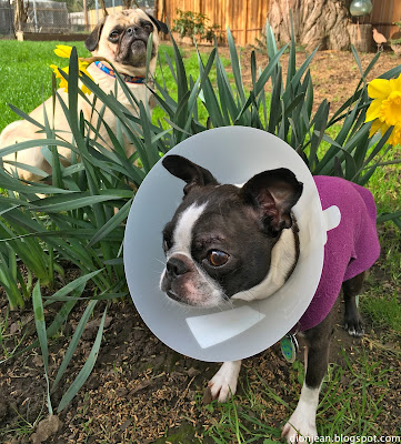 Liam the pug and Sinead the Boston terrier among the flowers