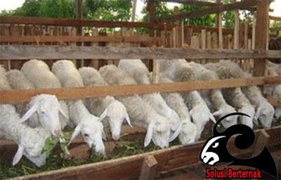 Keuntungan Yang Besar Dalam Berternak Domba