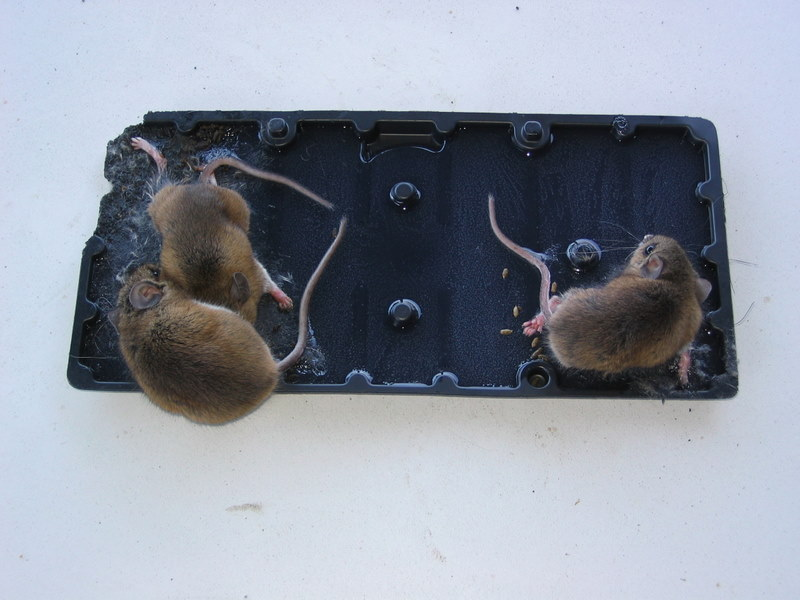 My Life And Times Mouse Glue Traps