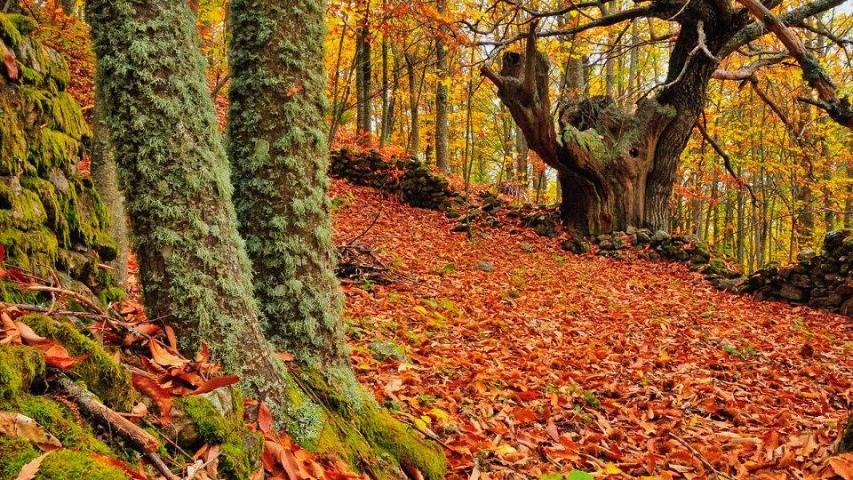 Las hojas de algunos rboles caducos se caen m s tarde en for Arboles que no se le caen las hojas en invierno