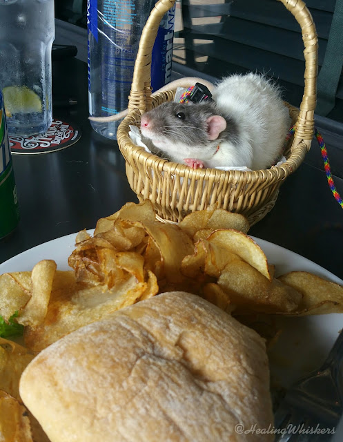 Vincent the therapy rat eating at Ate Track Bar and Grill
