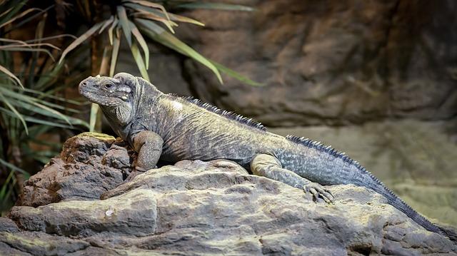Iguana Ekor Hitam
