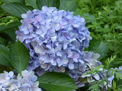 星の里いわふね 紫陽花