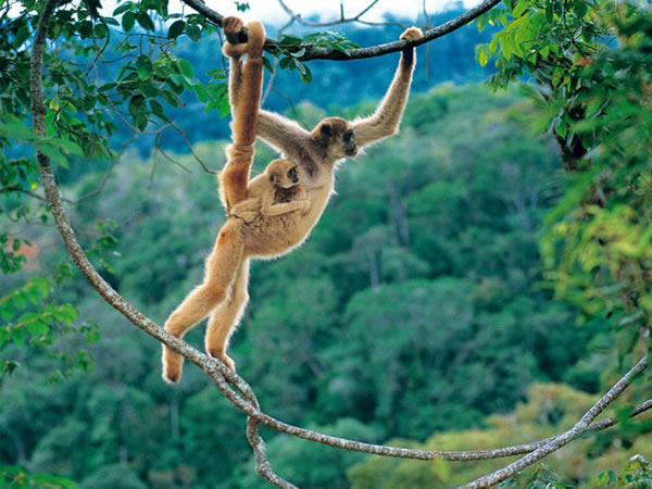Woolly Spider Monkey