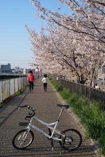 川沿いの朝桜