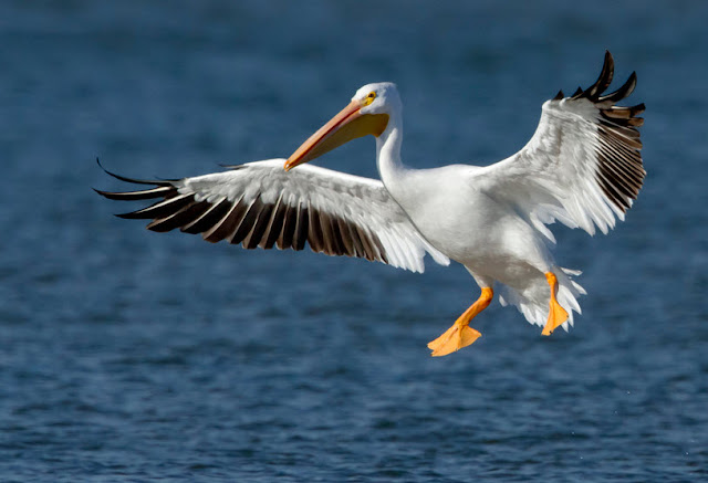 Pelican facts, information and pictures 7