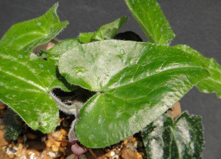 BIẾNHOÁ - Asarum caudigerum - Nguyên liệu làm thuốc Chữa Ho Hen