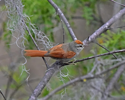 Bolivian Spinetail
