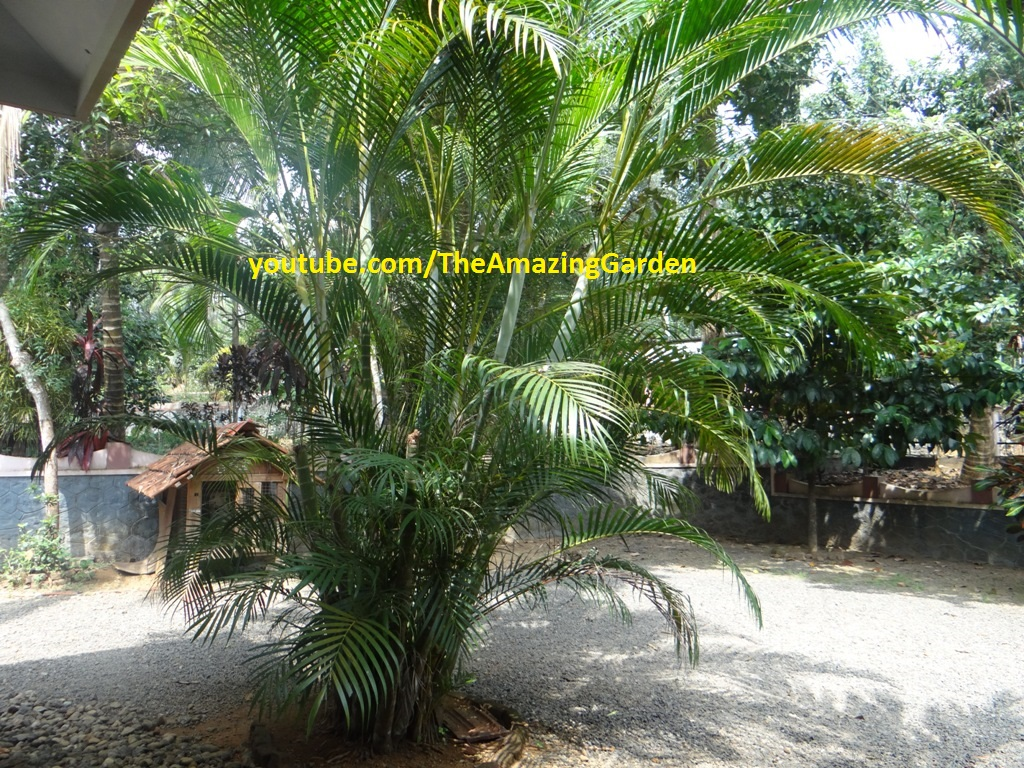 Yellow Palm Areca Palm Chrysalidocarpus Lutescens Our Beautiful Garden Yellow Palm Areca Palm