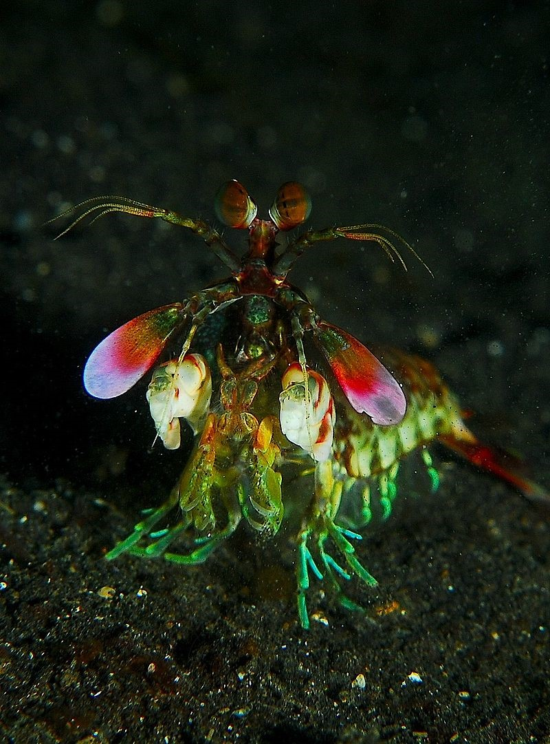 Hue Angles: Does a Mantis Shrimp have a Real Color Space?