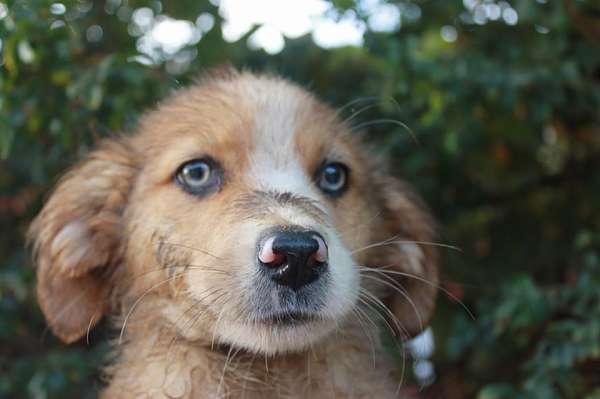cachorro cruce mastín