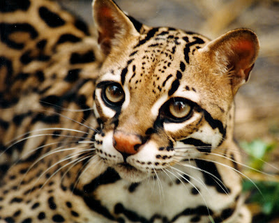 Image result for ocelot