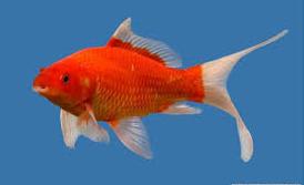 Jenis Ikan Hias Air Tawar Komet