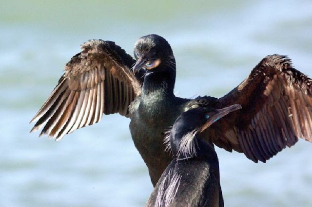 How the Galapagos cormorant lost its ability to fly