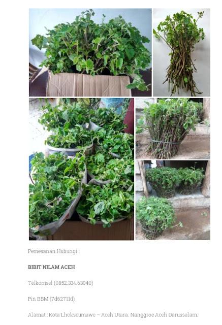 Penjual Bibit Nilam Aceh Sidikalang 0852.334.63940