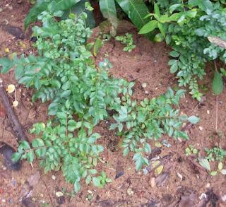 Curry Leaves (Kadi Patta) Good for Eyesight