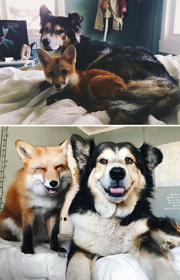 #1 Juniper The Fox And Moose Are Best Friends From The Day They Met Till Now - 15 Before & After Pics Of Animals Growing Up Together