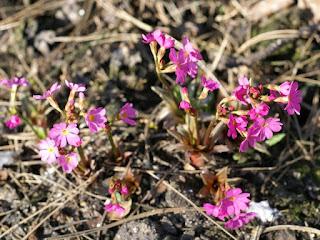 Primevère rose - Primula rosea