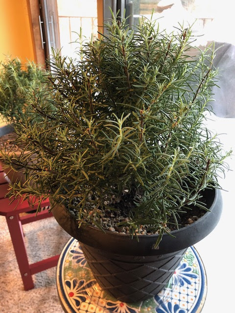 The Challenges Of Overwintering Rosemary