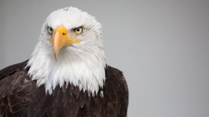 Wallpaper 2: Bald Eagle Portrait