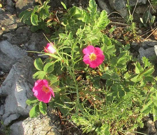 Niskie pędy róży rdzawej (Rosa rubiginosa L.).
