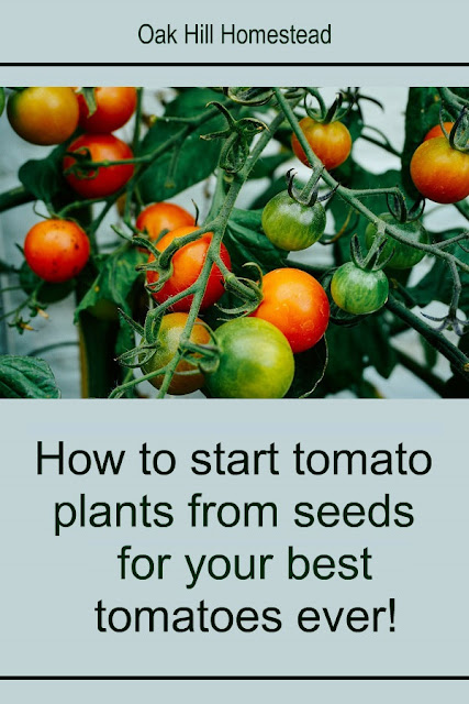 How to grow tomato plants from seeds.