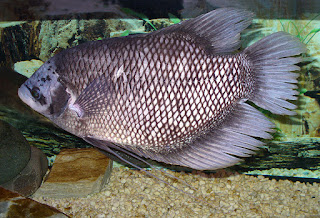 Fakta-fakta Mengenai Ikan Gurame