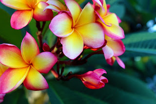 Mitos Bunga Kamboja Yang Belum Banyak Diketahui