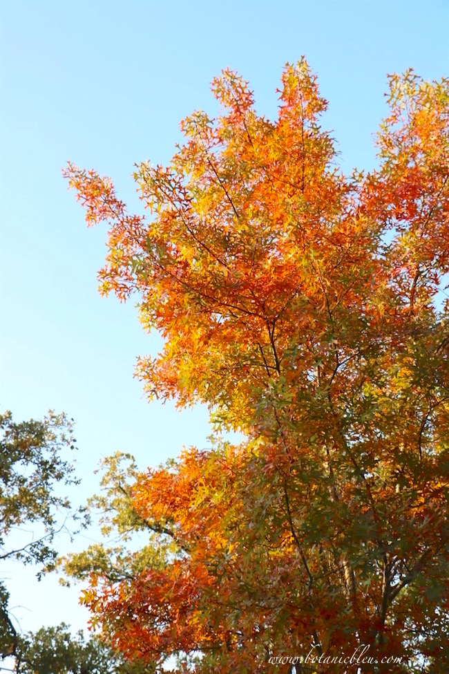 red-oak-fall-color-yellow-red-foliage