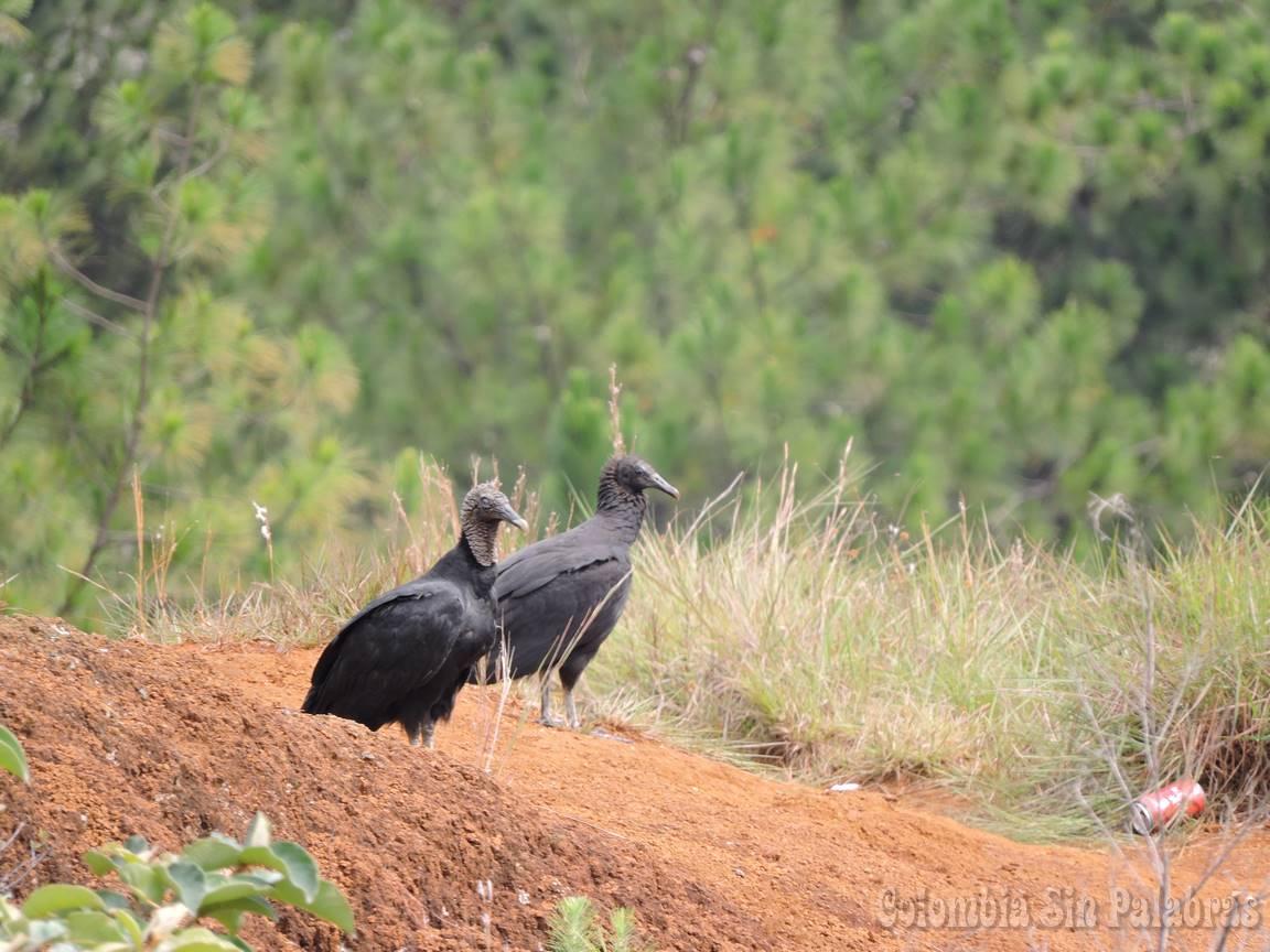 gallinazos en el cerro quitasol - Zopilote negro