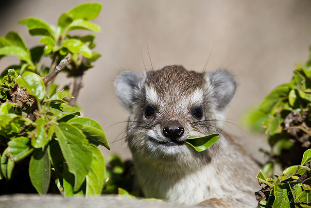 The Hyrax  The Elephants Cousin  The Ark In Space