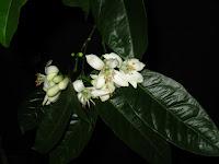 Arancio Ovale o Calabrese - blossom