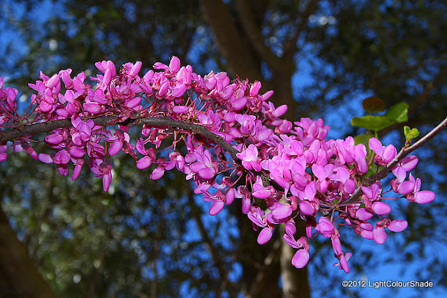 European Redbud, Judas tree (Cercis siliquastrum) flowers
