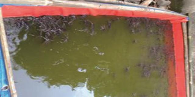 7 Cara Mengatasi Penyakit Ikan Lele Yang Banyak Dikeluhkan Peternak Lele