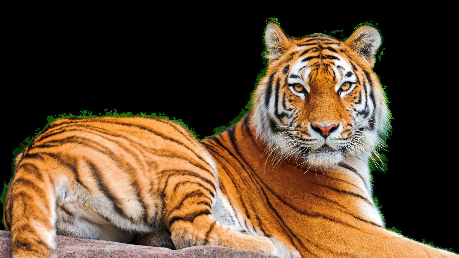 Клипарт тигр картинки