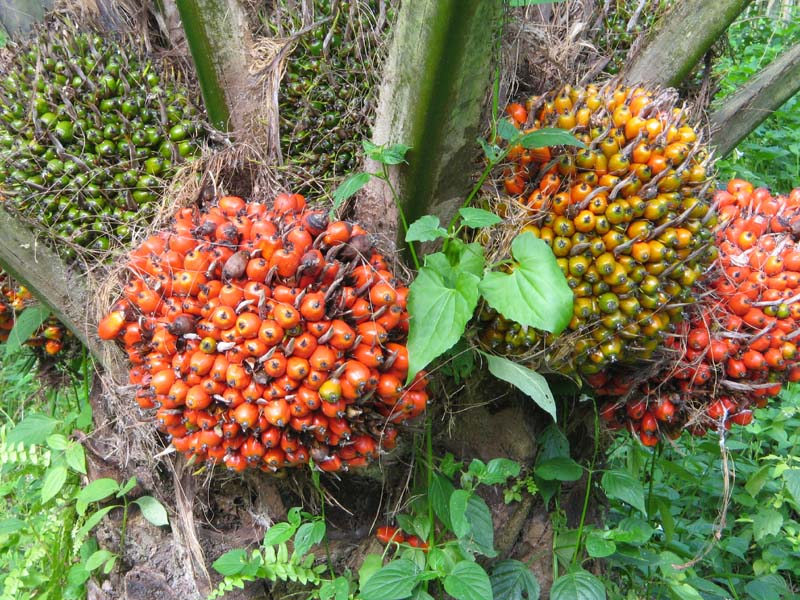 Palm Oil Fruit Tree