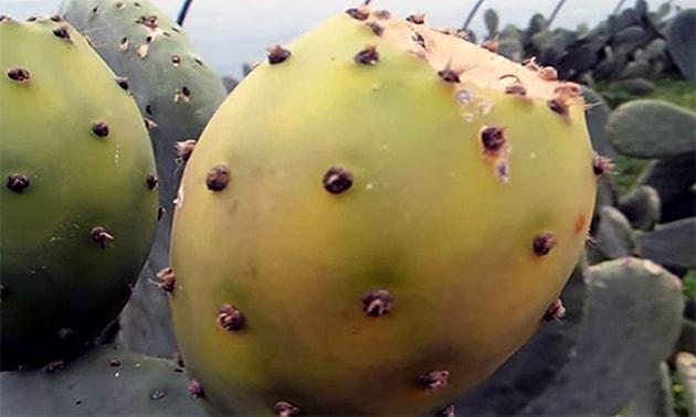 Figo-da-índia (Opuntia ficus-indica)