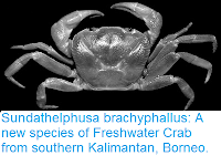 http://sciencythoughts.blogspot.co.uk/2015/11/sundathelphusa-brachyphallus-new.html