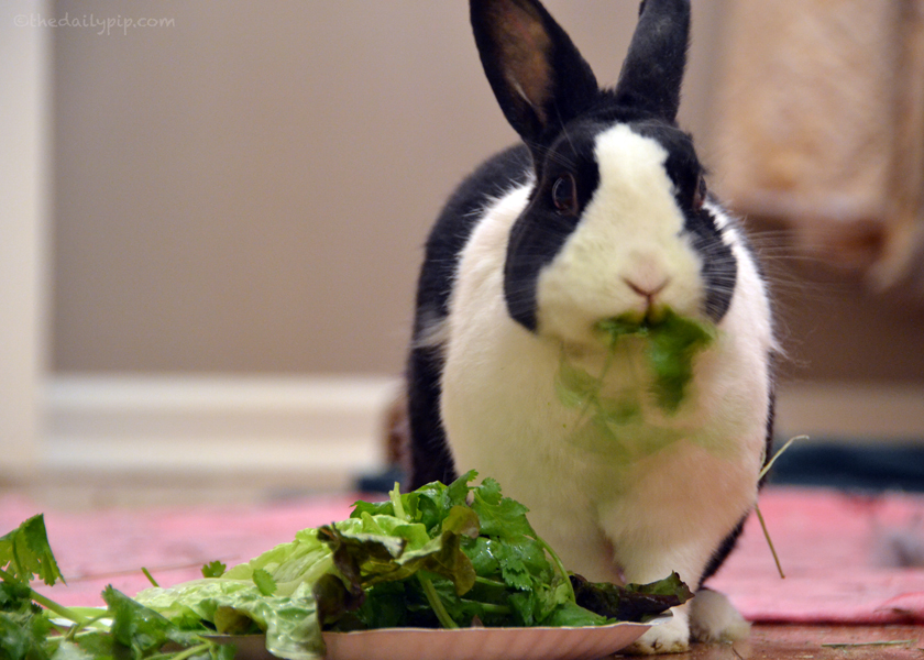 Rabbit diet should consist of hay, greens, and pellets
