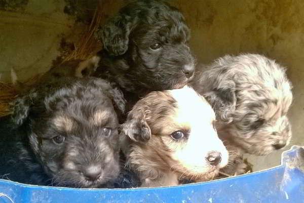 cachorros cruce perro de aguas con pastor