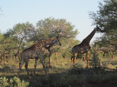 Giraffe Grazing | Travel with Katchie