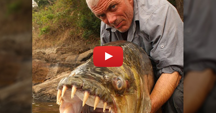 This ferocious looking monster fish can actually eat crocodiles