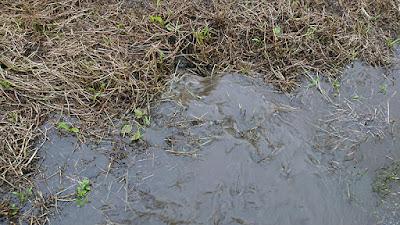 畑脇の排水溝に勢いよく流れていく雨水